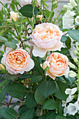 Pink 'Lady of Shalott' (English Rose) by David Austin, often flowering