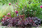 Early summer bed with Heuchera micrantha hybrids (purple bells)