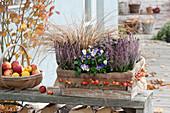 Calluna vulgaris Garden Girls 'Lisann' (bud heather, broom heath)