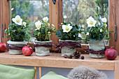 Helleborus niger (Christmas rose) in felt pots, with garlands of twigs