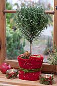 Thymus vulgaris (thyme) Christmassy stems