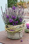 Calluna vulgaris Garden Girls 'Rosita' (Bud's heather)