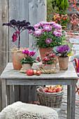 Chrysanthemum grandiflorum, Brassica 'Redbor'