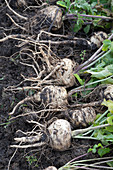 Harvest insensitive vegetables in late autumn