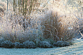 Frozen bed of grasses, perennials and thymus
