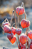 Frozen fruit stands of Physalis alkekengi (Lampion flower)