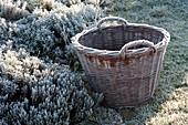 Wicker basket on frozen herb bed, thymus,