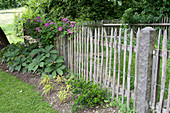 Picket fence with Clematis 'Ville De Lyon' (clematis), Rodgersia