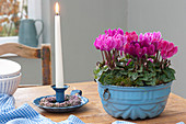 Cyclamen persicum (cyclamen) in blue baking dish