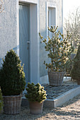Arrangement with evergreen trees at the entrance