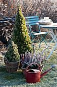 Baskets with picea glauca 'Conica' (sugarloaf spruce) and calluna