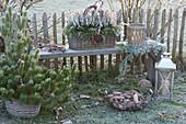 Basket with Calluna vulgaris 'Twin Girls' (bud heath, broom heath)