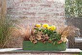 Autumn planted green wooden box, Carex comans 'Bronze'