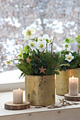 Helleborus niger (Christmas rose) in golden pots by the window
