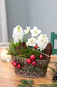 Helleborus niger, Hyacinthus orientalis 'White Pearl'