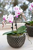 Phalaenopsis pot (Malay flower, butterfly orchid)