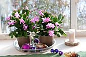 Blooming Schlumbergera (Christmas cactus) with Christmas tree balls