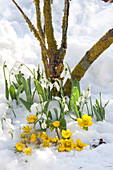 Winter aconites and snowdrops in the snow
