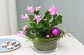 Schlumbergera ( Weihnachtskaktus ) mit Zweigen von Cytisus ( Ginster )