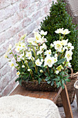 Helleborus niger (Christmas rose) in wire basket with moss on wooden bench