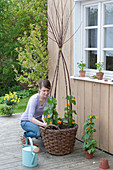 Plant black-eyed Susanne in a basket with a climbing aid