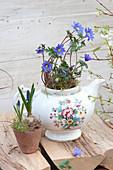 Anemone blanda, in Grandma's old teapot