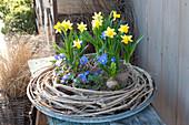 Pots with Narcissus 'Tete á Tete' (Narcissus), Anemone blanda
