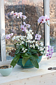 Phalaenopsis (Malay flower, butterfly orchid, moth orchid)