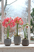 Various Hippeastrum in gray pots on the windowsill