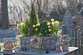 Basket with Picea glauca 'Conica', Buxus