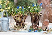 Twigs basket planted with muscari and galanthus