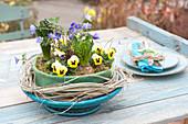 Spring bowl in felt-coat viola cornuta, Hyacinthus