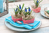 Muscari armeniacum (grape hyacinth) with hay in red and white