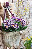 Primula 'Scirocco duo' (primrose) hung in a pot