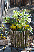 Helleborus (Christmas rose) and Eranthis (winter aconite) in the birch pot