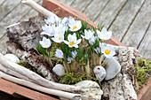 Crocus chrysanthus 'Blue Pearl' (small crocus) with bark