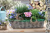 Basket with primula, anemone blanda