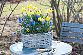 Blue and Yellow Spring Basket, Narcissus 'Tete A Tete', Muscari