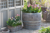 Wooden barrel and basket planted with Tulipa (tulip) and Muscari