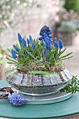 Muscari armeniacum (Grape Hyacinth) and Hyacinthus (Hyacinth)