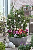 Pine mugo mughus decorated in Easter