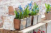 Scilla siberica (blue oysters) planted with moss in drawers
