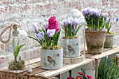 Crocus vernus 'Striped Beauty' (Crocus) and Hyacinthus 'Jan Bos'