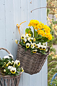 Baskets with Primula elatior Crescendo 'Yellow' and Viola
