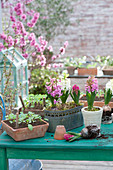 Hyacinthus 'Pink Pearl', 'White Pearl', and boxes of seedlings
