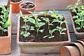 Brassica (kohlrabi) seedlings in terracotta shell