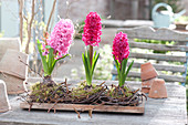 Flowering Hyacinthus (hyacinth) in wreaths of birch branches