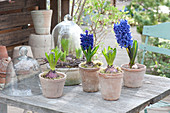 Hyacinthus 'Blue Jacket', 'Delft Blue', in terracotta