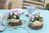 Viola cornuta Rocky 'Lavender Blush' (horn violet) in bowls