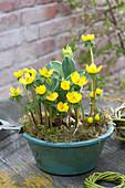Bowl of Eranthis hyemalis (winter aconite) and tulipa (tulip)